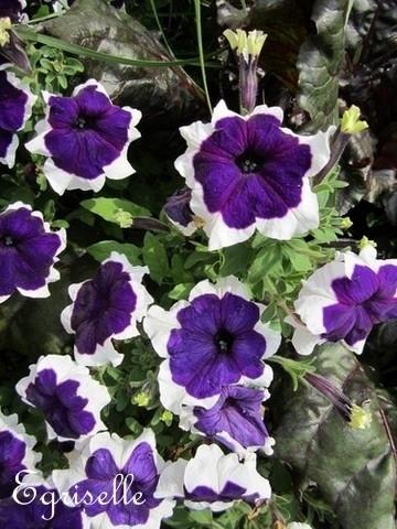 surfinia p tunia violet dentelle blanche 20 graines. Black Bedroom Furniture Sets. Home Design Ideas