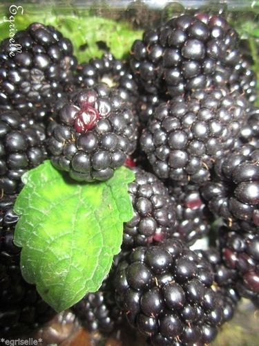 ♫ MURIER 'Gros Fruit Allongé Jumbo' - Rubus ♫ 10 Graines ♫