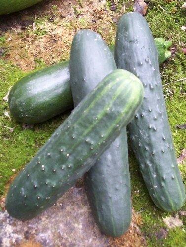 Concombres cornichons - Variete de cornichon ...